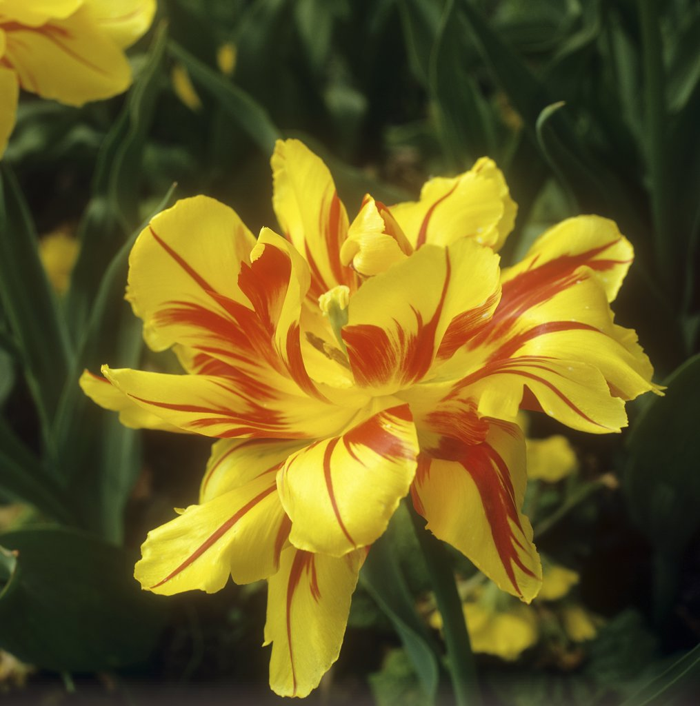 Stock Photo: 4279R-59507 tulip