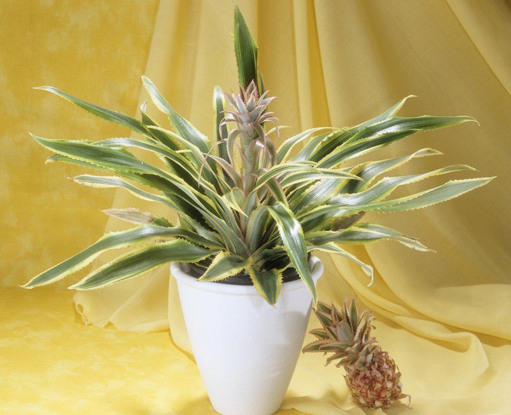Ivory Pineapple in flowerpot , Ananas comosum Variegatus : Stock Photo