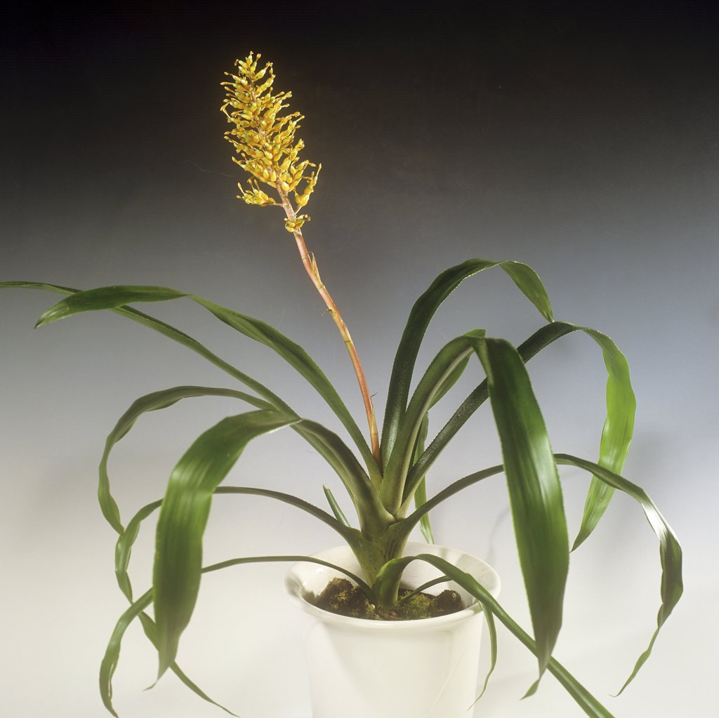 Stock Photo: 4279R-59619 Aechmea , Aechmea servitensis