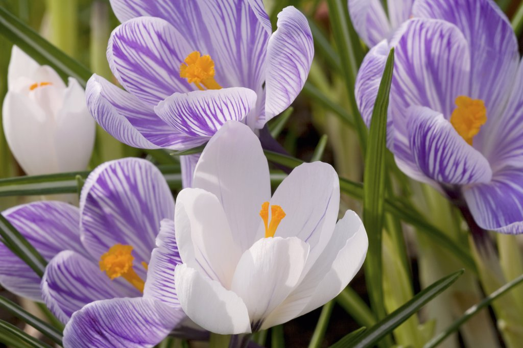 dutch crocus - blossoms , Crocus vernus : Stock Photo