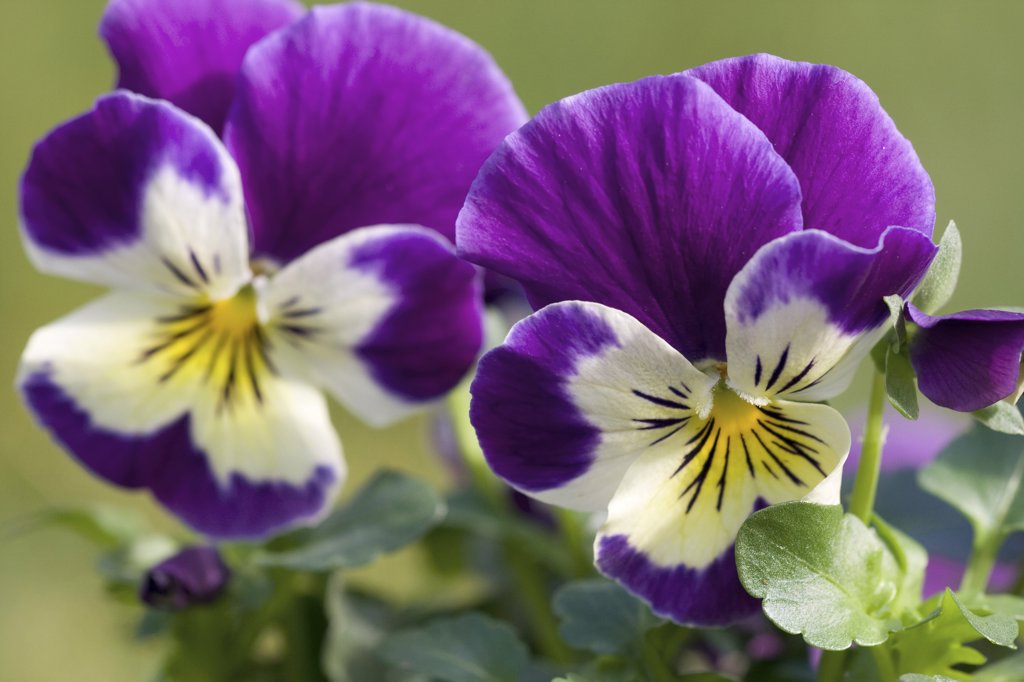 Stock Photo: 4279R-59691 pansy violet - blossom