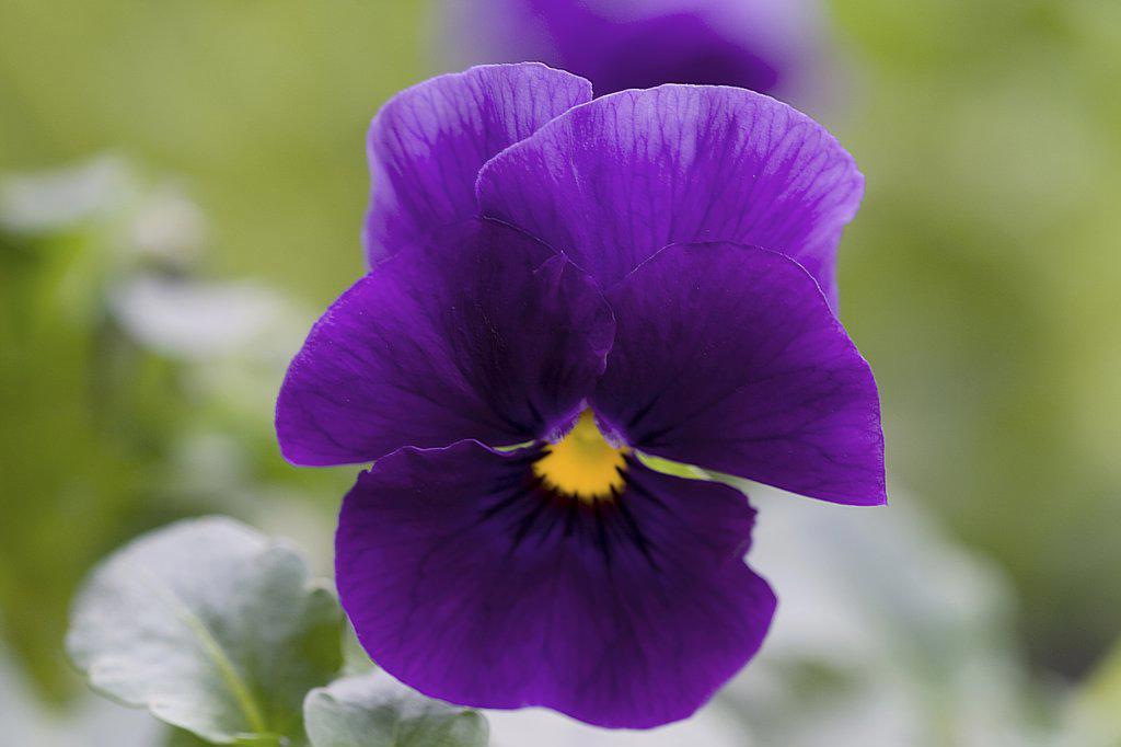 pansy violet - blossom : Stock Photo