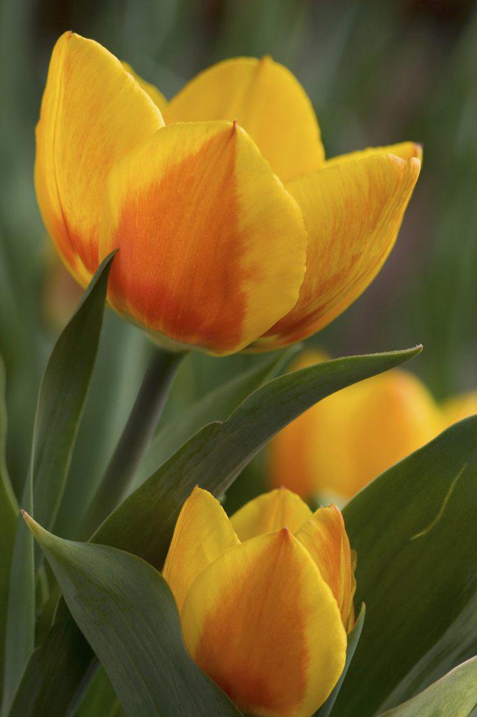 tulip - blossom : Stock Photo