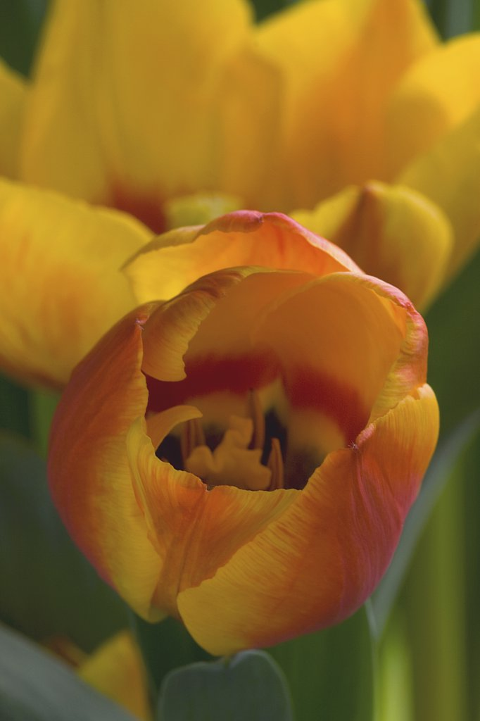 Stock Photo: 4279R-59703 tulip - blossom