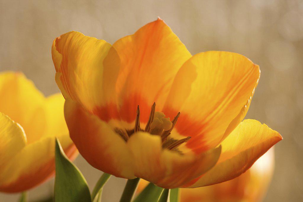 Stock Photo: 4279R-59707 tulip - blossom
