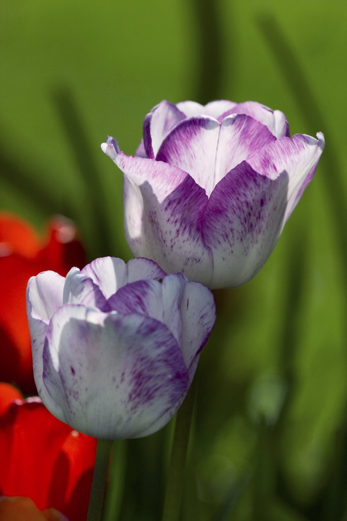 Stock Photo: 4279R-59709 tulip - blossoms