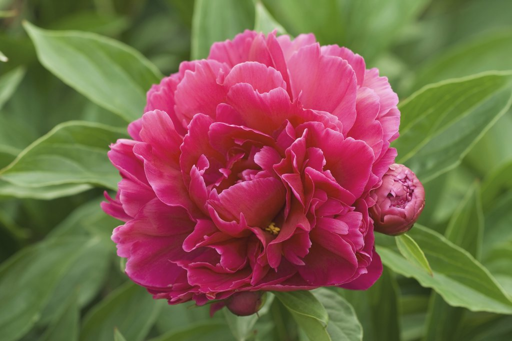 Stock Photo: 4279R-59729 peony - blossom