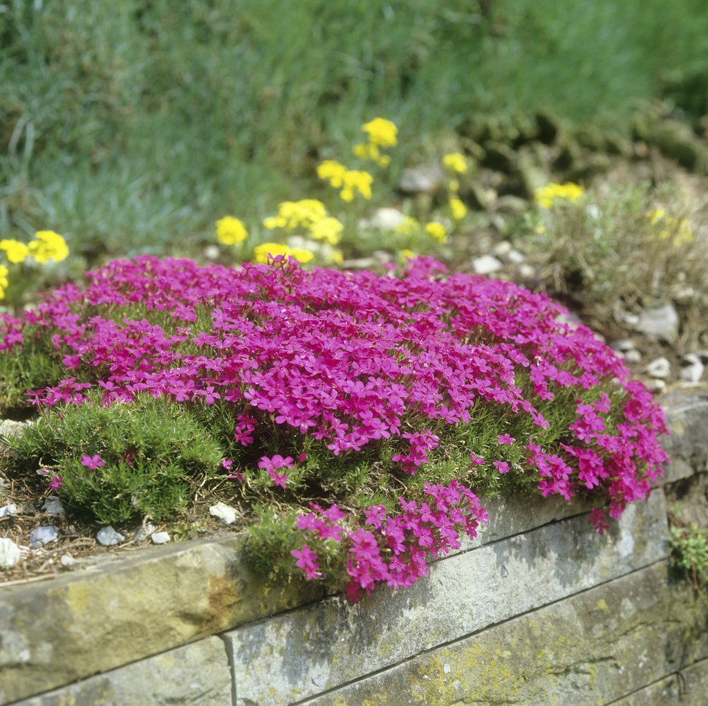 Moss Phlox on stone wall , Phlox subulata : Stock Photo