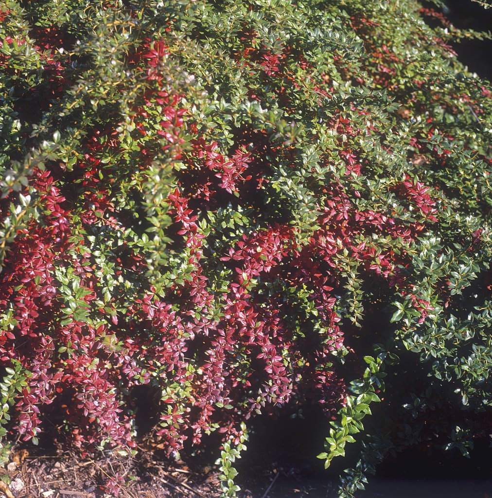 Warty barberry , Berberis verruculosa : Stock Photo