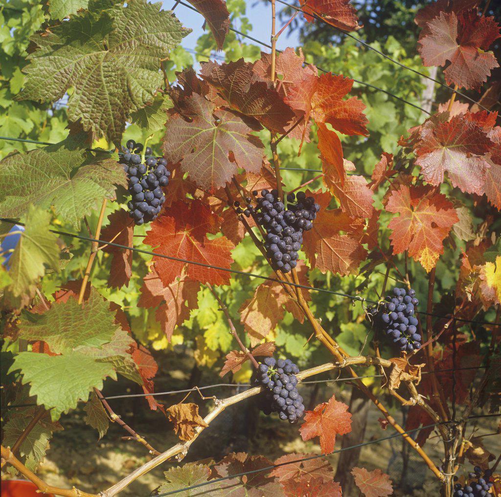 Stock Photo: 4279R-59967 Common Grape Vine , Vitis vinifera