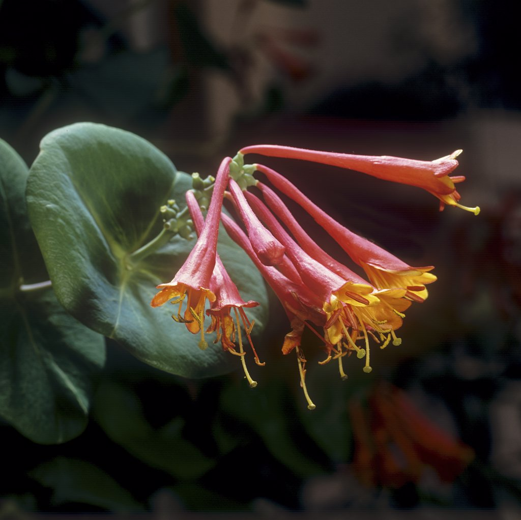 Brown's honeysuckle - blossom , Lonicera x brownii : Stock Photo