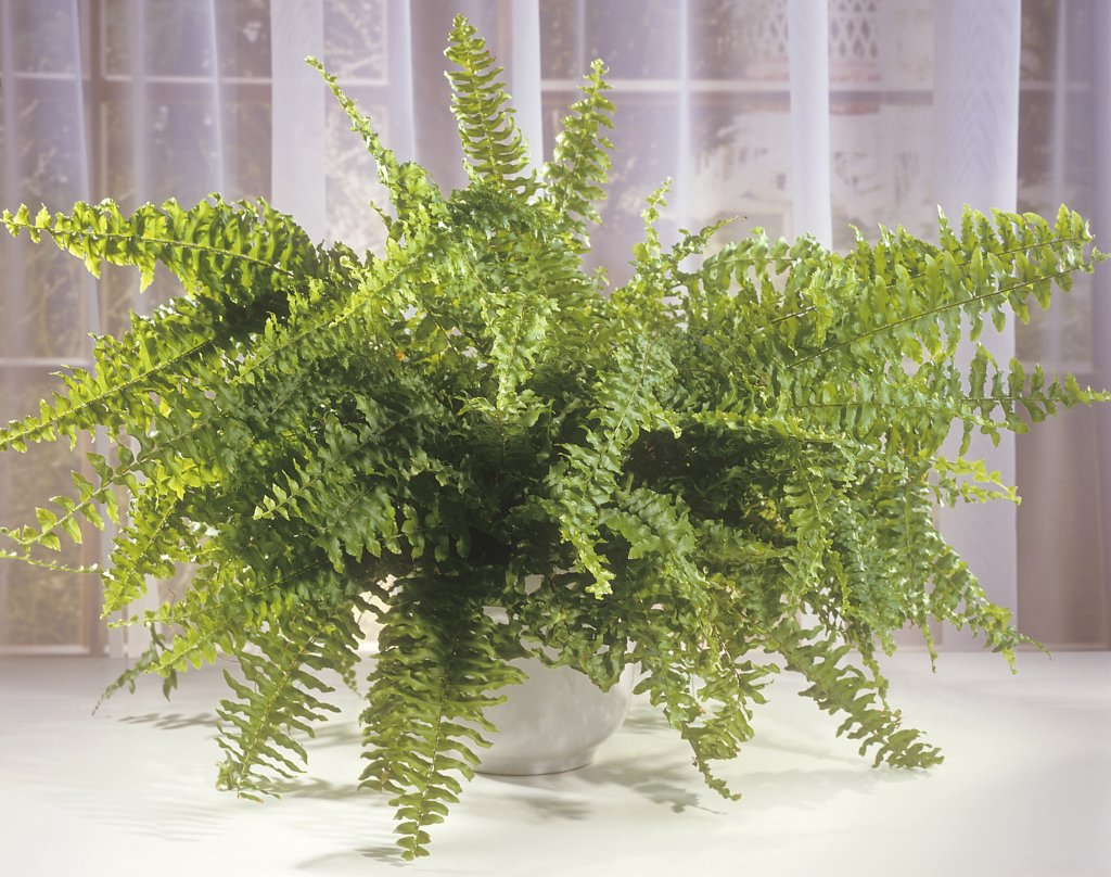 sword fern , Nephrolepsis exaltata : Stock Photo
