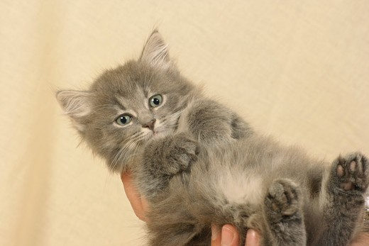 Stock Photo: 4279R-60140 Sibirian forest cat - kitten lying on hands