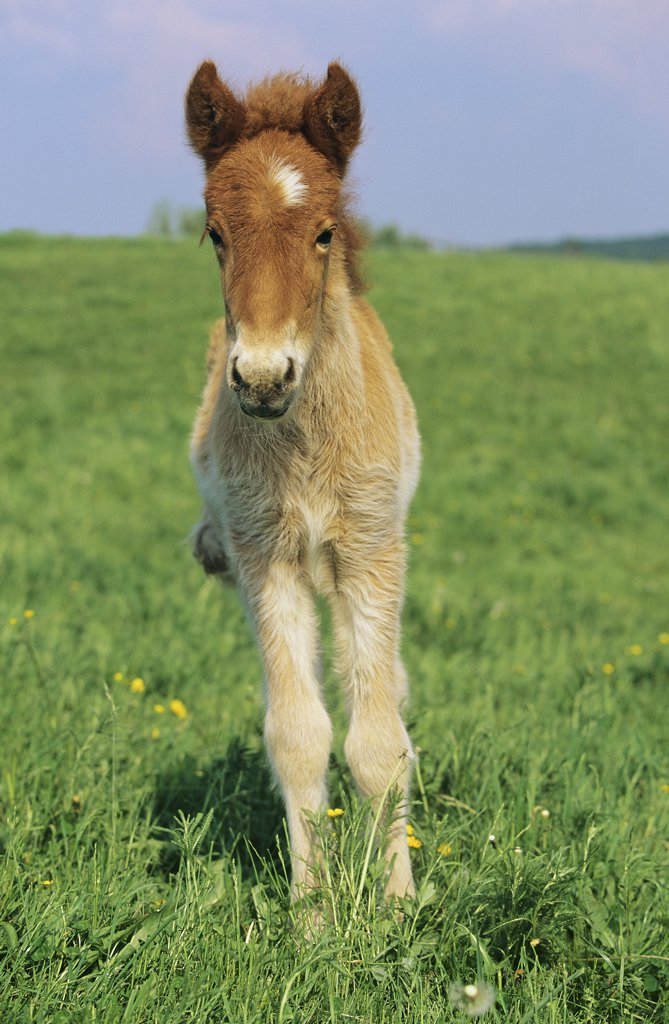 Stock Photo: 4279R-60279 Icelandic horse - foal standing on meadow