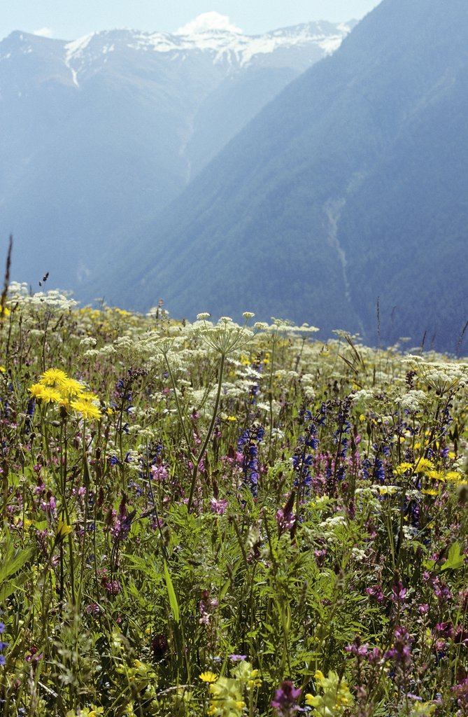 Stock Photo: 4279R-60350 meadow with different flowers