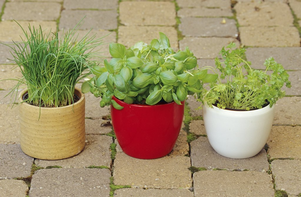 Stock Photo: 4279R-60483 different herbs in flowerpots