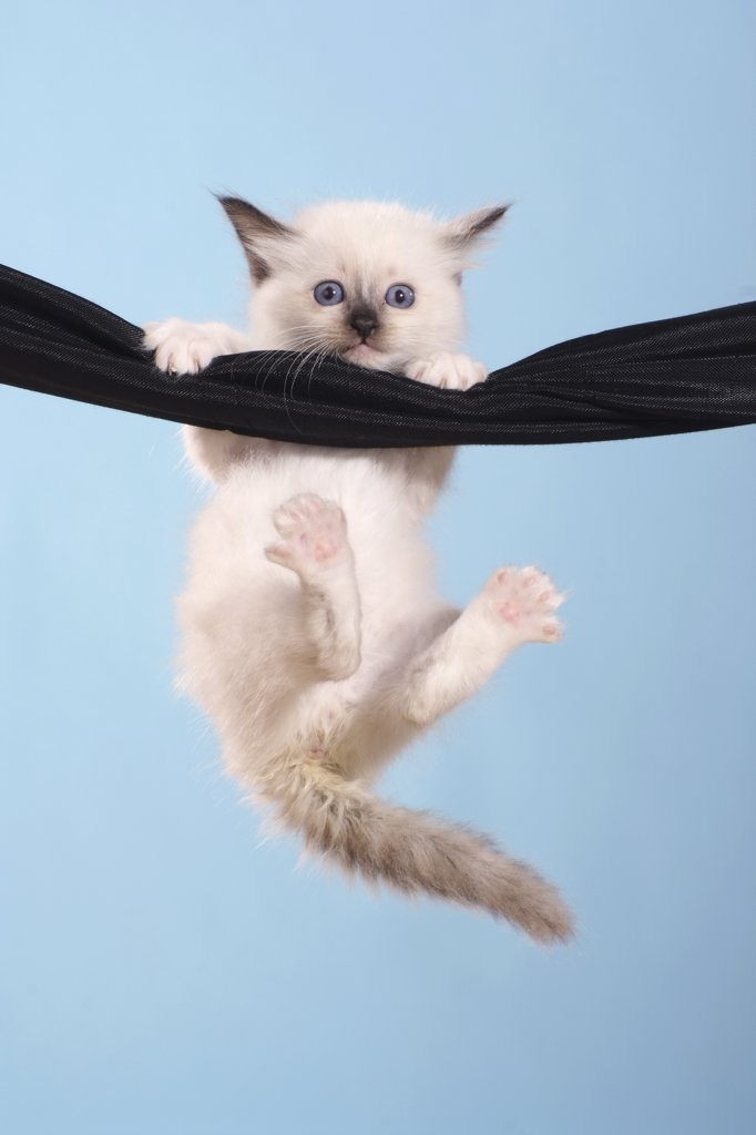 Stock Photo: 4279R-60688 Sacred cat of Burma - kitten hanging at hammock
