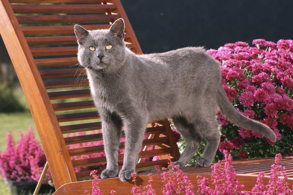 Stock Photo: 4279R-60699 grey cat - standing on deck-chair