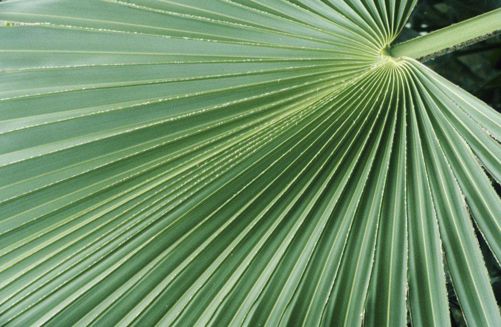 Stock Photo: 4279R-60753 palm leaf