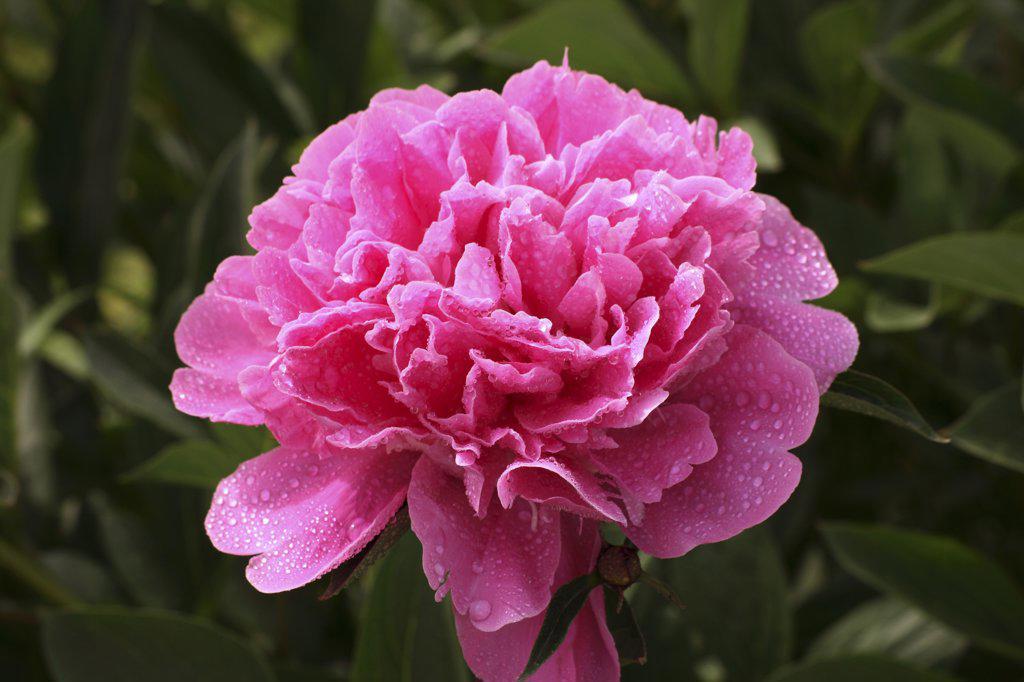 Stock Photo: 4279R-60777 peony - blossom