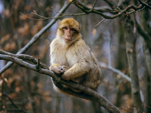Stock Photo: 4279R-60847 Barbary Macaque - sitting on branch , Macaca sylvana