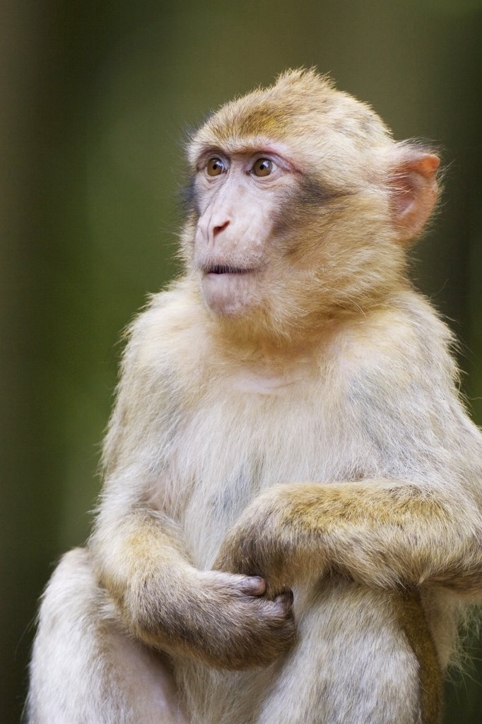 Stock Photo: 4279R-60970 Barbary Macaque - sitting , Macaca sylvanus
