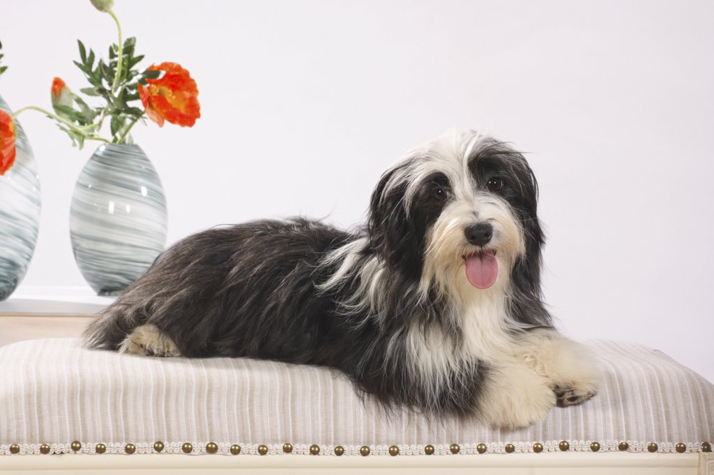 Stock Photo: 4279R-61046 Havanese dog - lying
