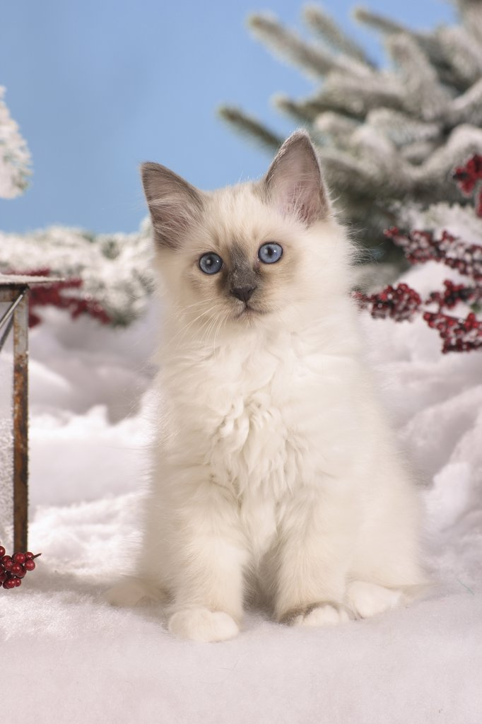 Sacred cat of Burma - kittten in snow : Stock Photo