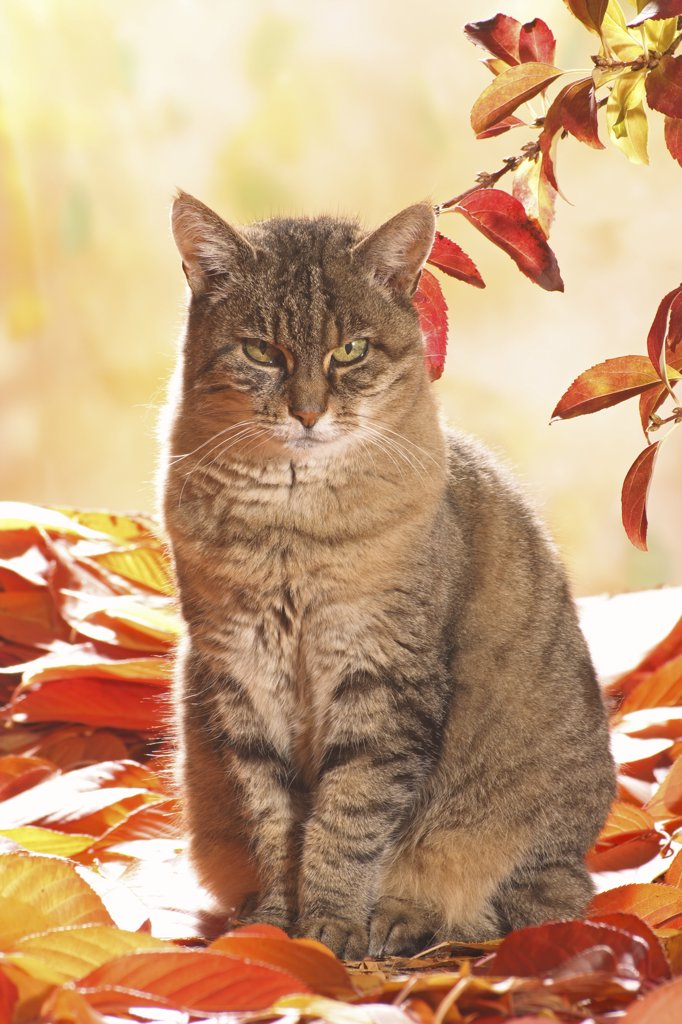 tabby domestic cat - sitting in foliage : Stock Photo