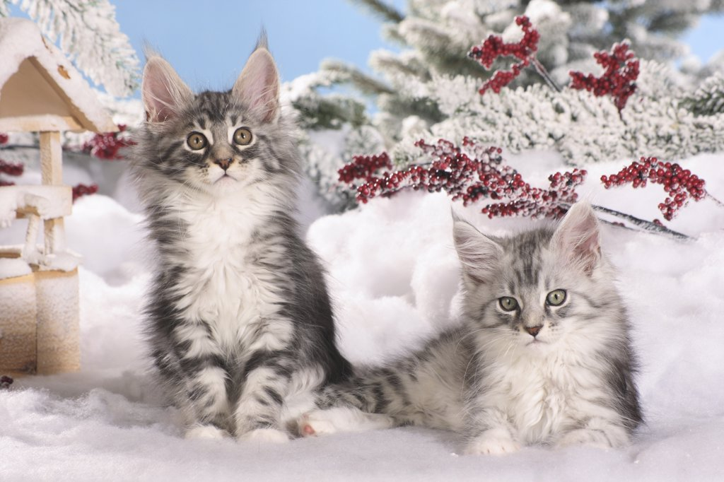 Maine Coon cat - two kittens in the snow : Stock Photo