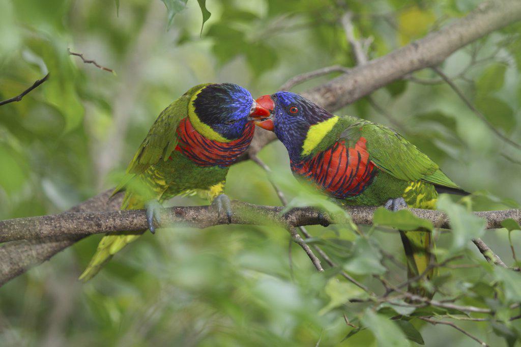 two Rainbow lorikeets - billing , Trichoglossus haematodus : Stock Photo