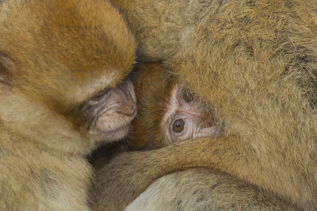 Stock Photo: 4279R-61440 Barbary Macaque - cub with mother , Macaca sylvanus