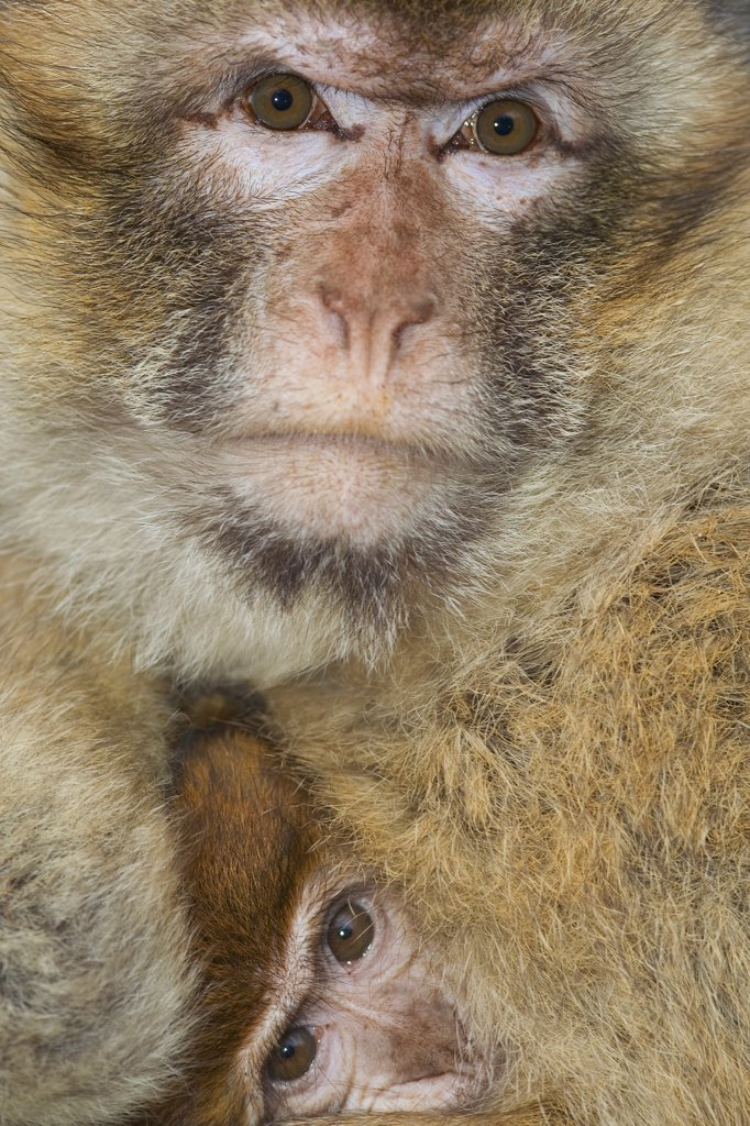 Stock Photo: 4279R-61441 Barbary Macaque - cub with mother , Macaca sylvanus