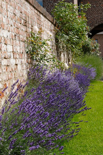 Common Lavender at wall , Lavendula angustifolia : Stock Photo
