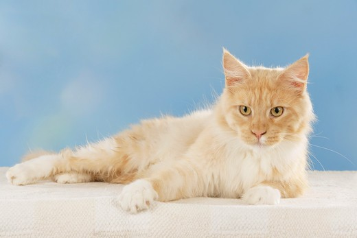 Stock Photo: 4279R-61528 Maine Coon cat - lying - cut out