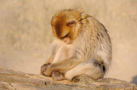 Stock Photo: 4279R-61630 Barbary Macaque - sitting on tree trunk , Macaca sylvanus