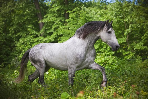 Stock Photo: 4279R-61645 Pure Spanish-bred horse - walking through forest