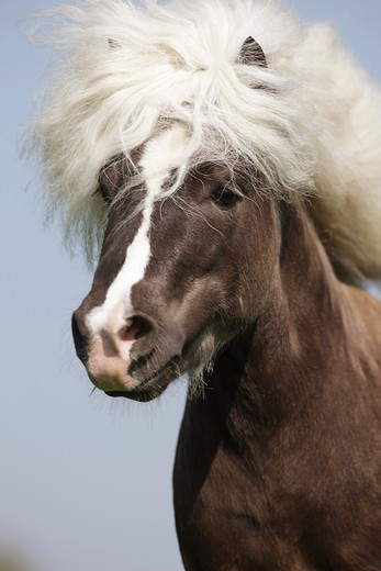 Stock Photo: 4279R-61658 Classic Pony horse - Portrait