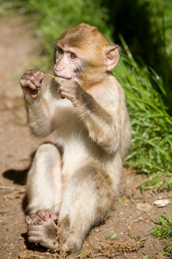 Barbary Macaque - sitting , Macaca sylvanus : Stock Photo