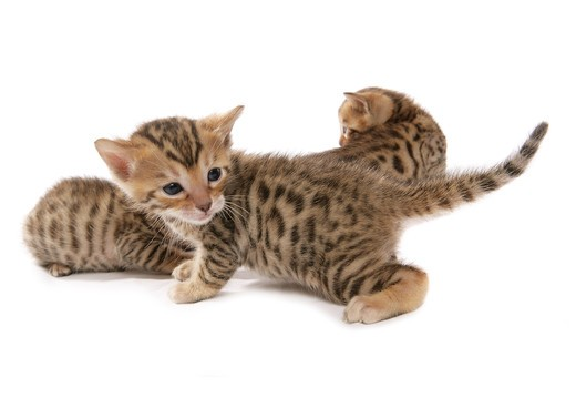 Stock Photo: 4279R-61789 Bengal cat - kitten - cut out