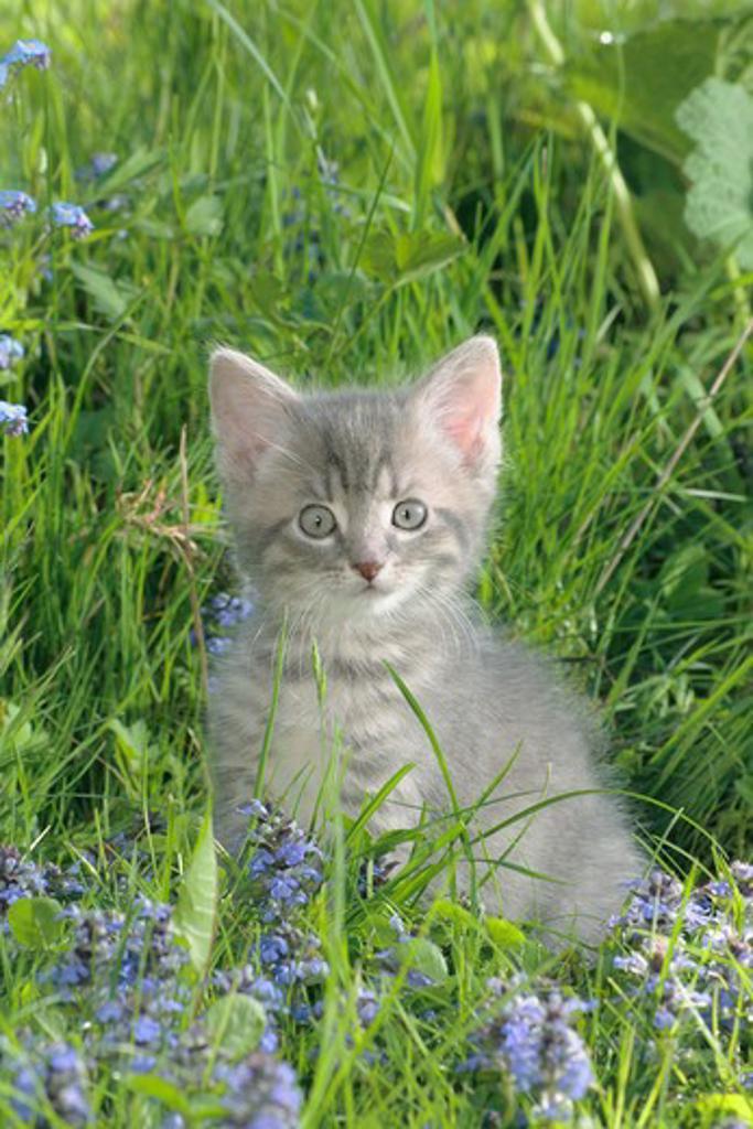 Stock Photo: 4279R-61894 domestic cat - kitten sitting on meadow