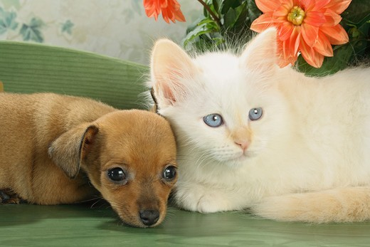 animal friendship, Sacred Cat of Burma kitten and Russian Toy Terrier puppy - lying : Stock Photo