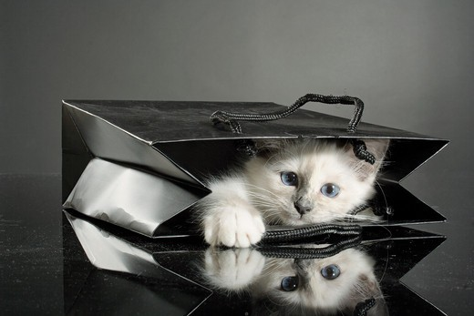 Stock Photo: 4279R-62027 Sacred cat of Burma - kitten lying in a bag