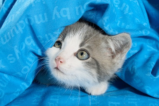 domestic cat - kitten lying under a cover : Stock Photo