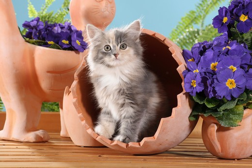 Siberian cat - kitten in a flower pot : Stock Photo