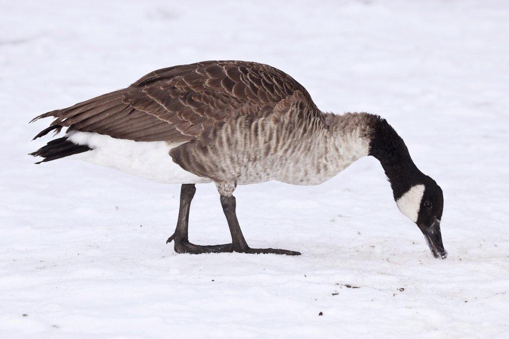 Stock Photo: 4279R-62602 Canada Goose in snow , Branta canadensis