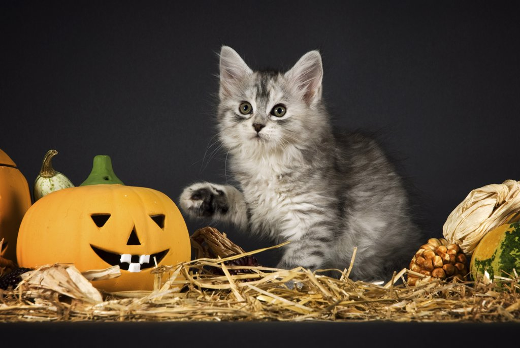 Stock Photo: 4279R-62765 Maine Coon cat - kitten in straw