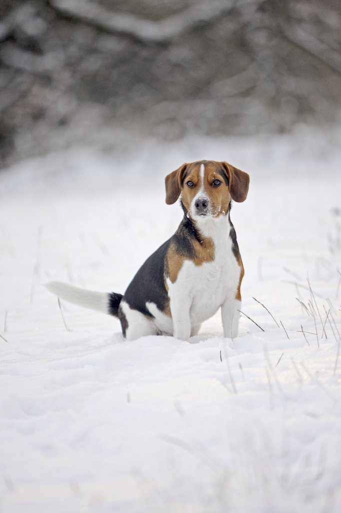 half breed dog - sitting in snow : Stock Photo