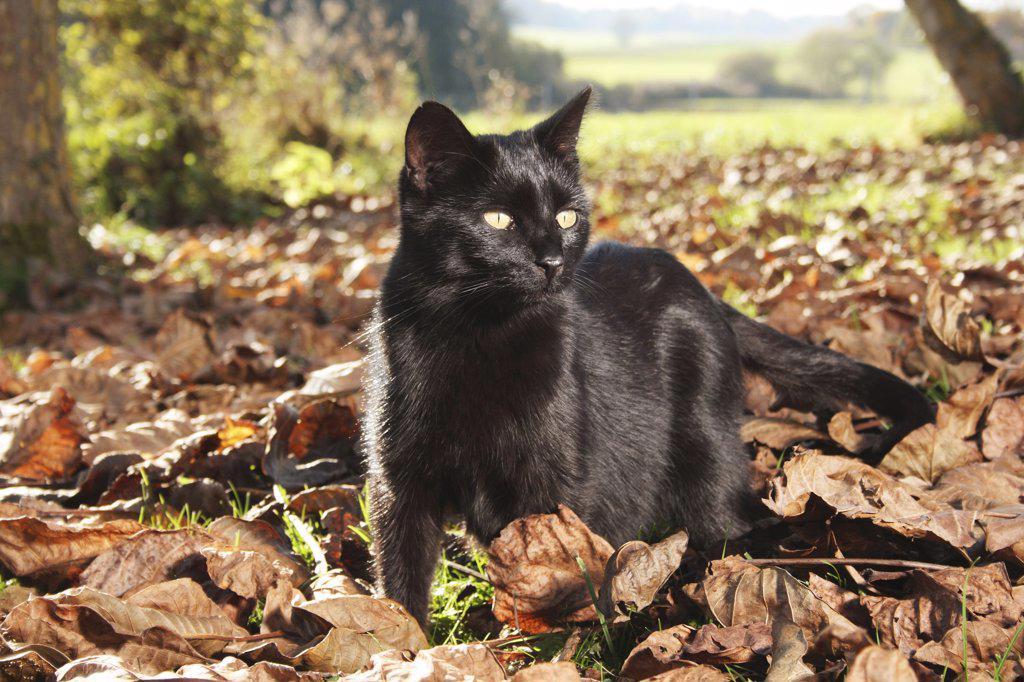 Stock Photo: 4279R-62842 domestic cat in foliage