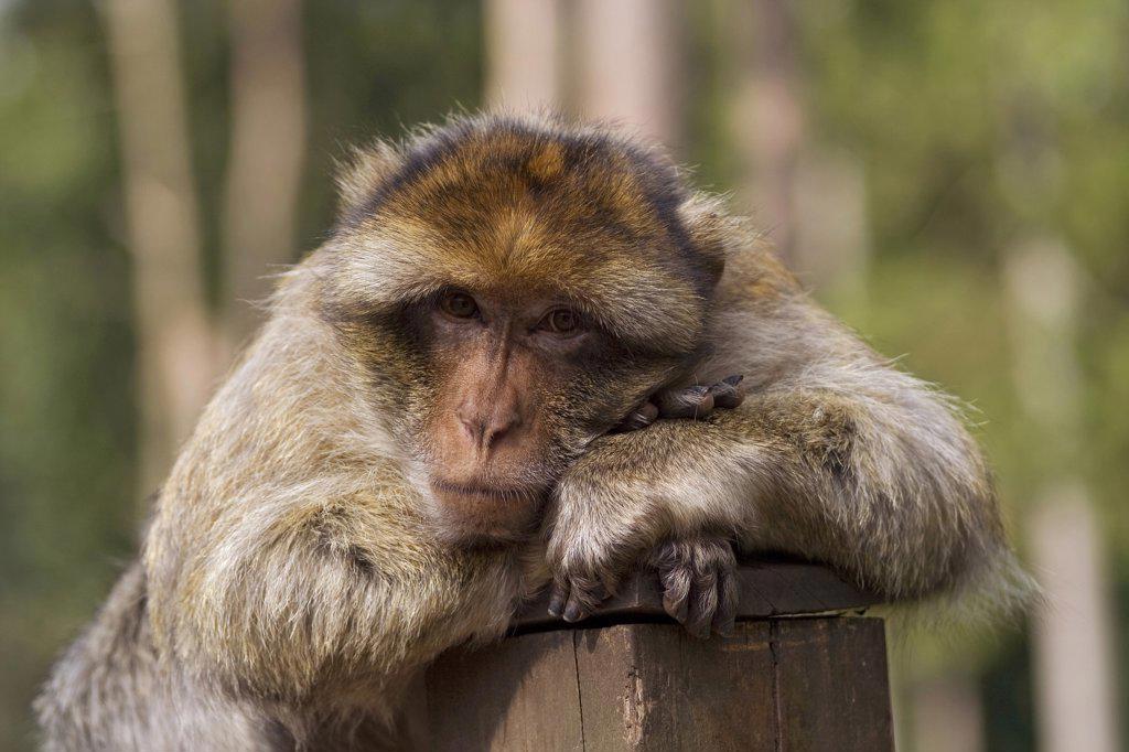 Stock Photo: 4279R-62904 Barbary Macaque , Macaca sylvanus